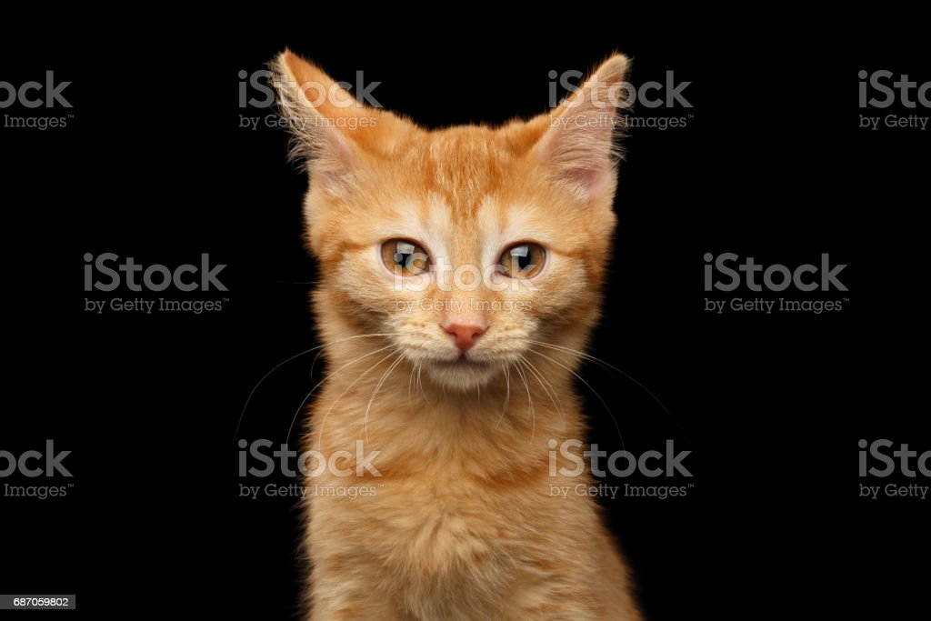 Ginger kitty on isolated black background stock photo