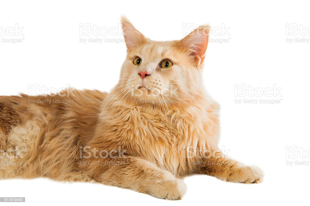 Ginger Maine coon cat stock photo