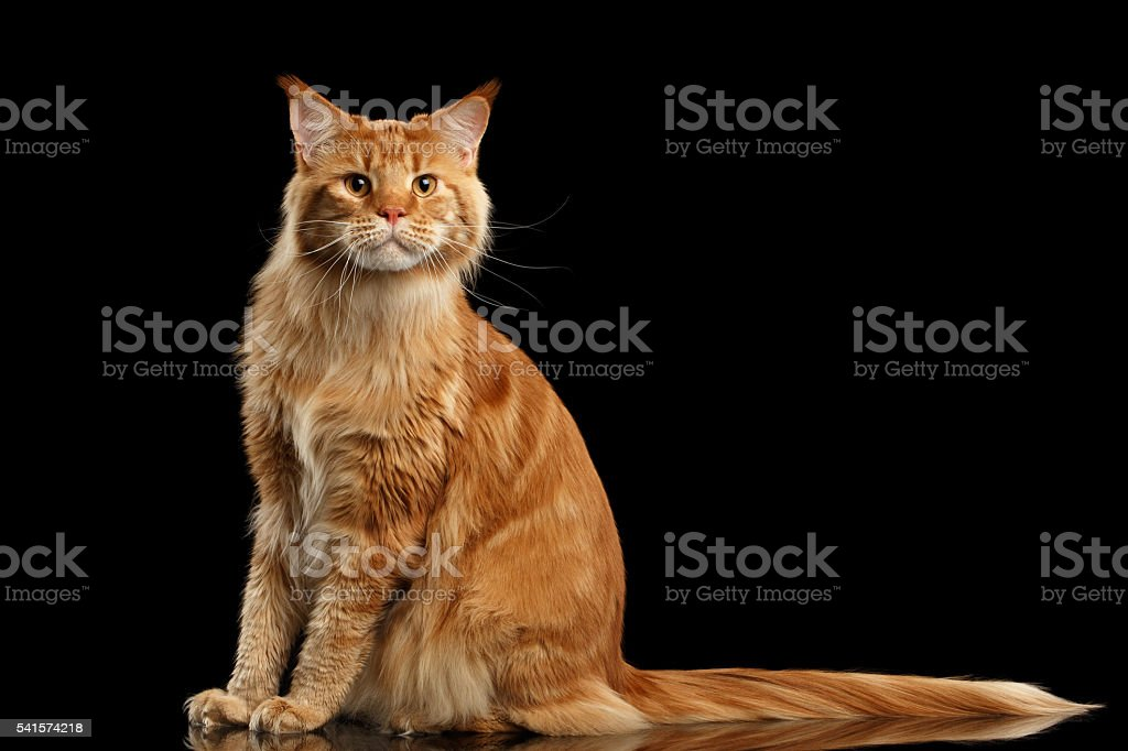 Ginger Maine Coon Cat with Long Tail Sitting Isolated Black stock photo