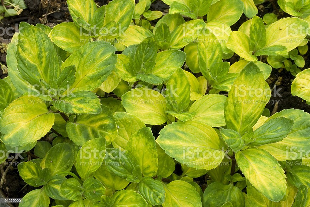 ginger mint royalty-free stock photo