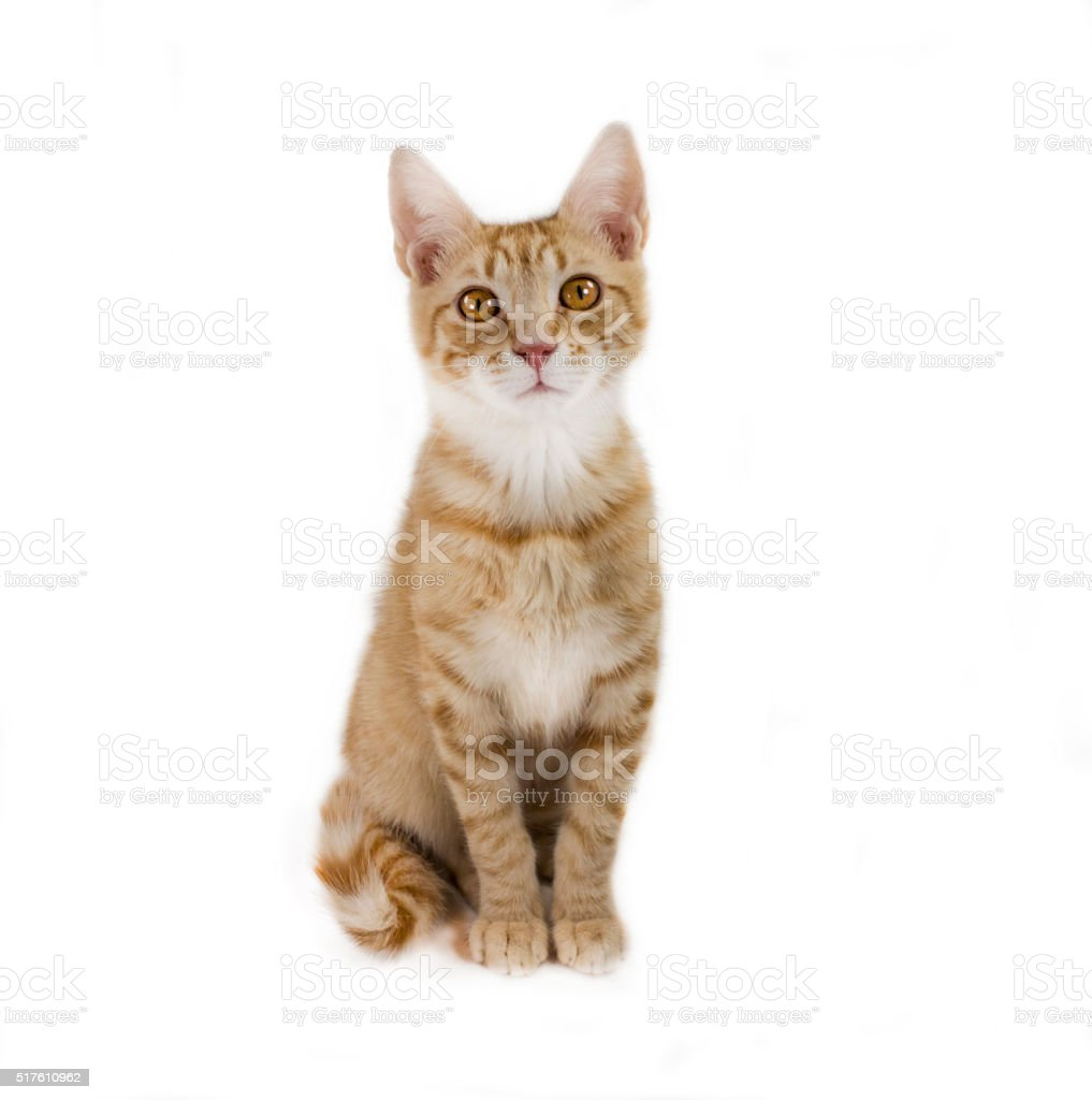 Ginger mixed breed cat, 6 months old, sitting stock photo