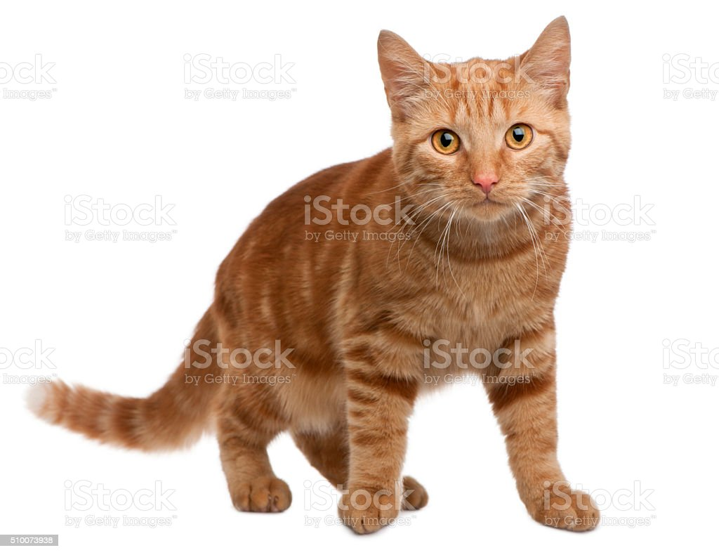 Ginger mixed breed cat, 6 months old, standing stock photo