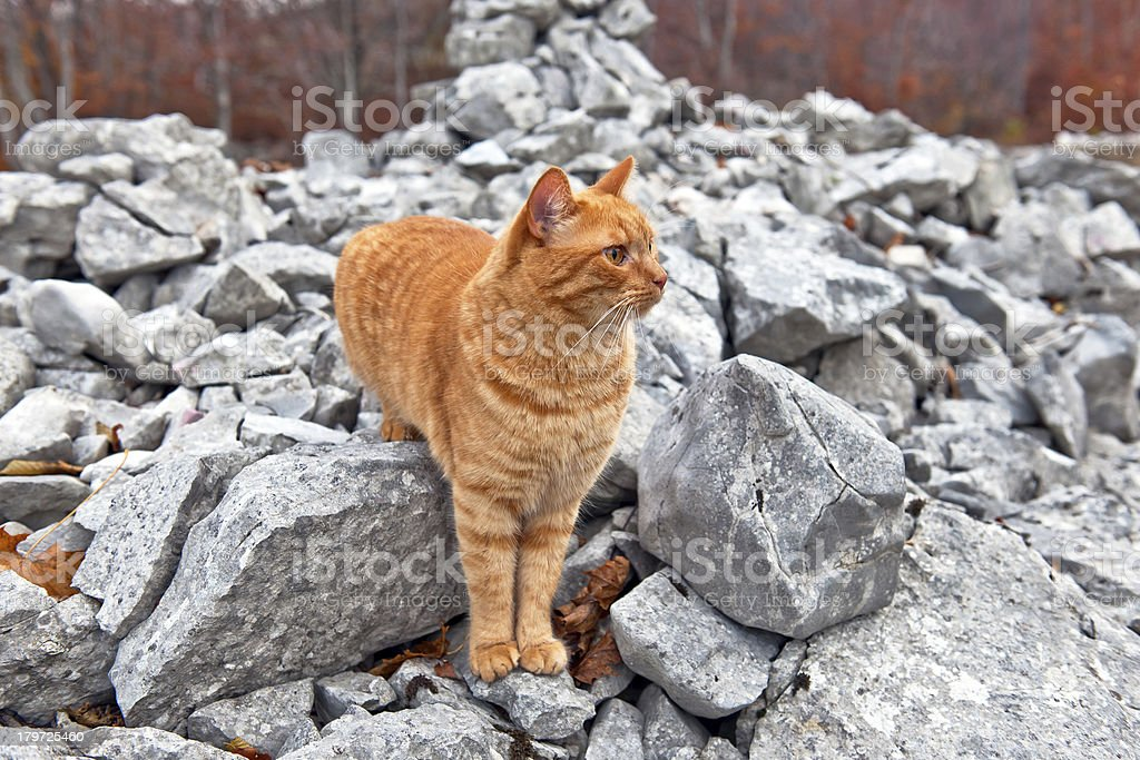 Ginger Mixed Breed Cat on Limestone Pile Autumn stock photo