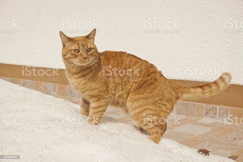 Ginger Mixed Breed Cat on Snow by House stock photo