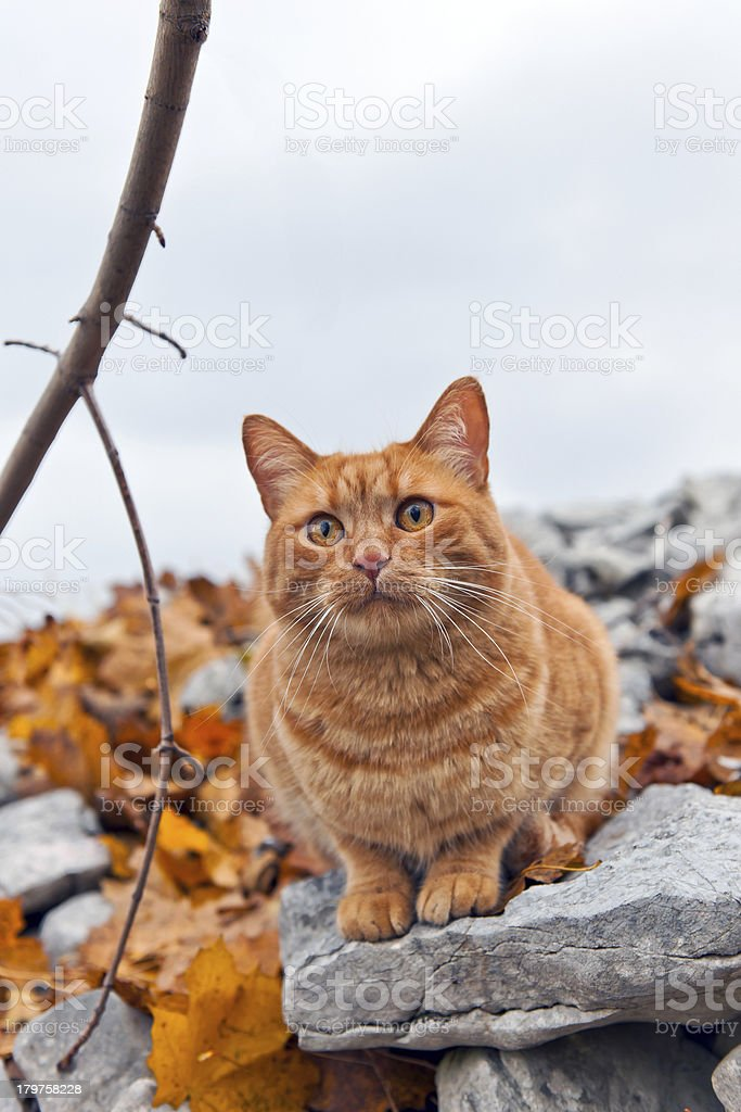 Ginger Mixed Breed Cat Sitting on Limestone stock photo