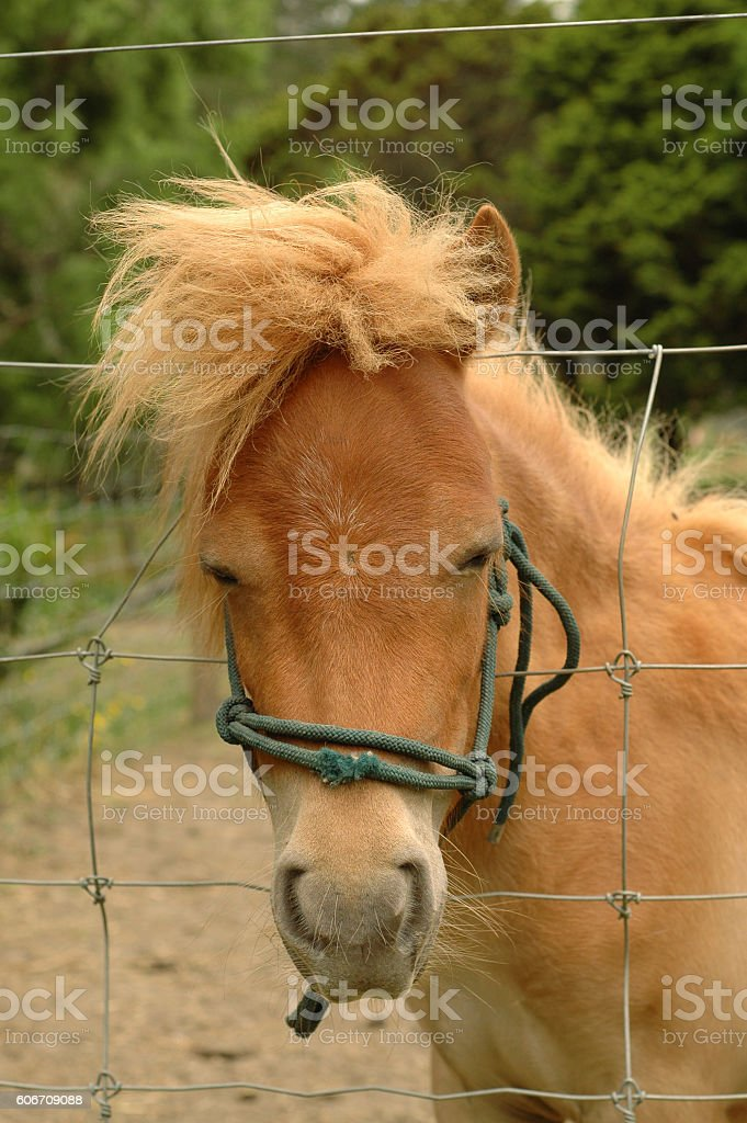 Ginger pony portrait stock photo