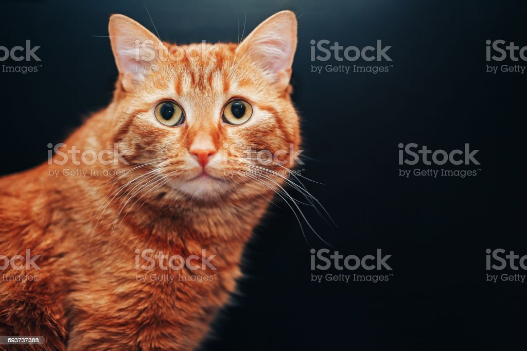 Ginger Red Cat on Black Background stock photo