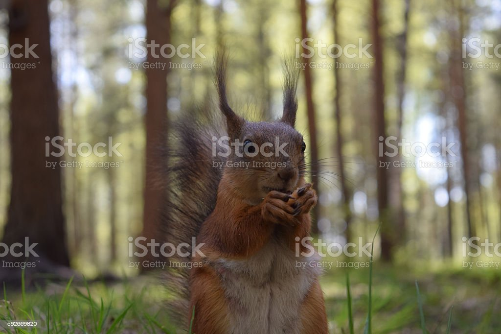 Ginger squirrel with teat, nose and vibrissae sitting on grass stock photo