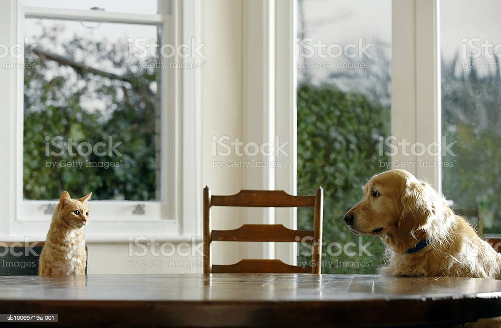 Ginger tabby cat and golden retriever sitting at dining table stock photo