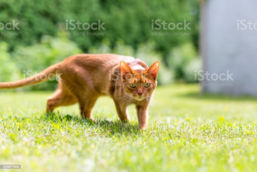 Ginger tabby cat in grass on a warm summer evening stock photo