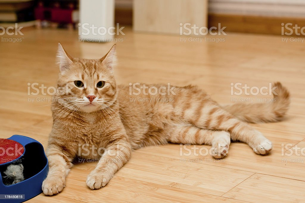 Ginger tabby cat stock photo