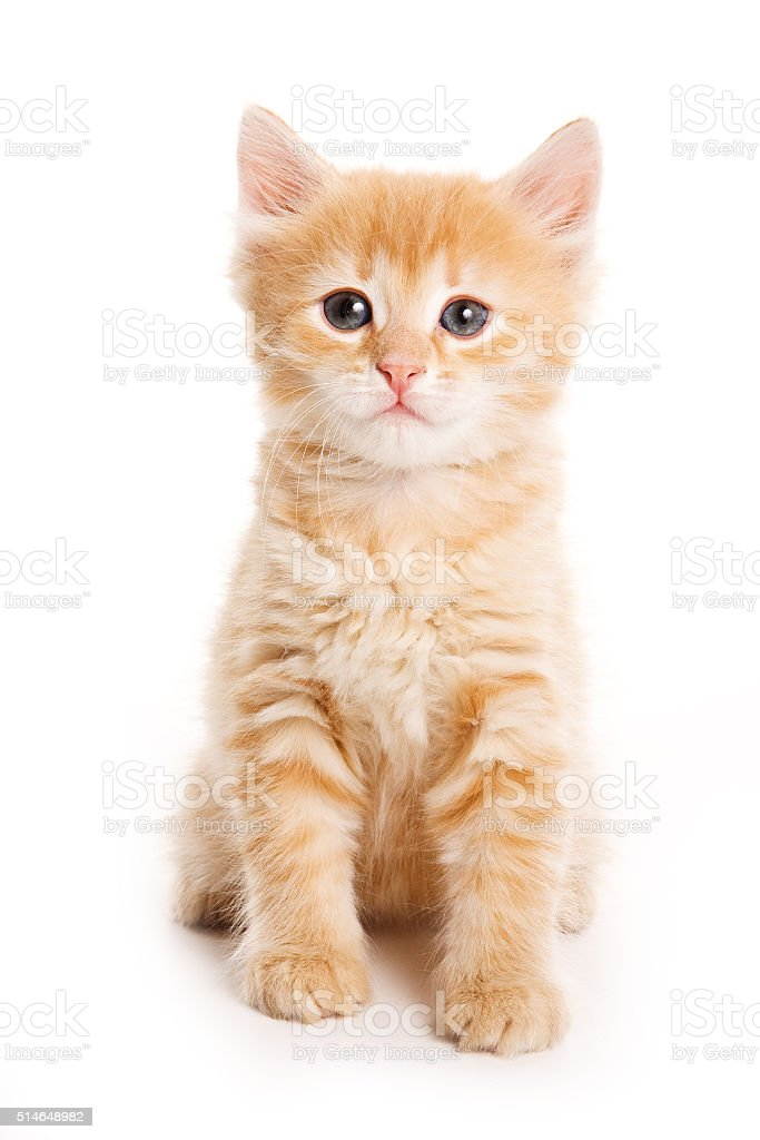 Ginger tabby kitten looking at the camera (isolated on white) stock photo