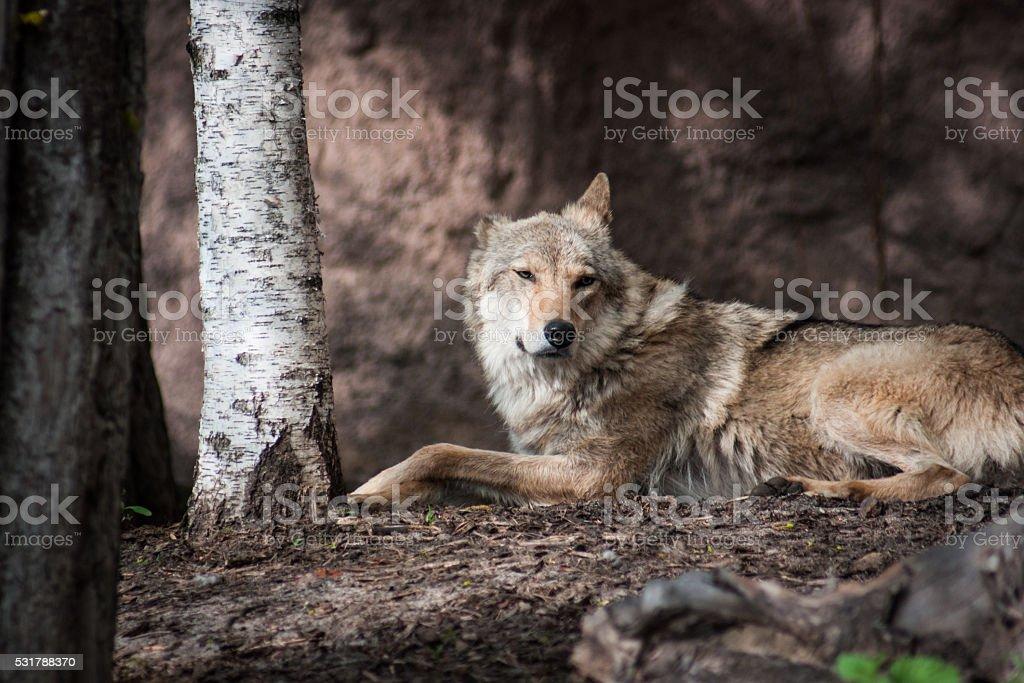 Loup de gingembre couché sur le sol photo libre de droits