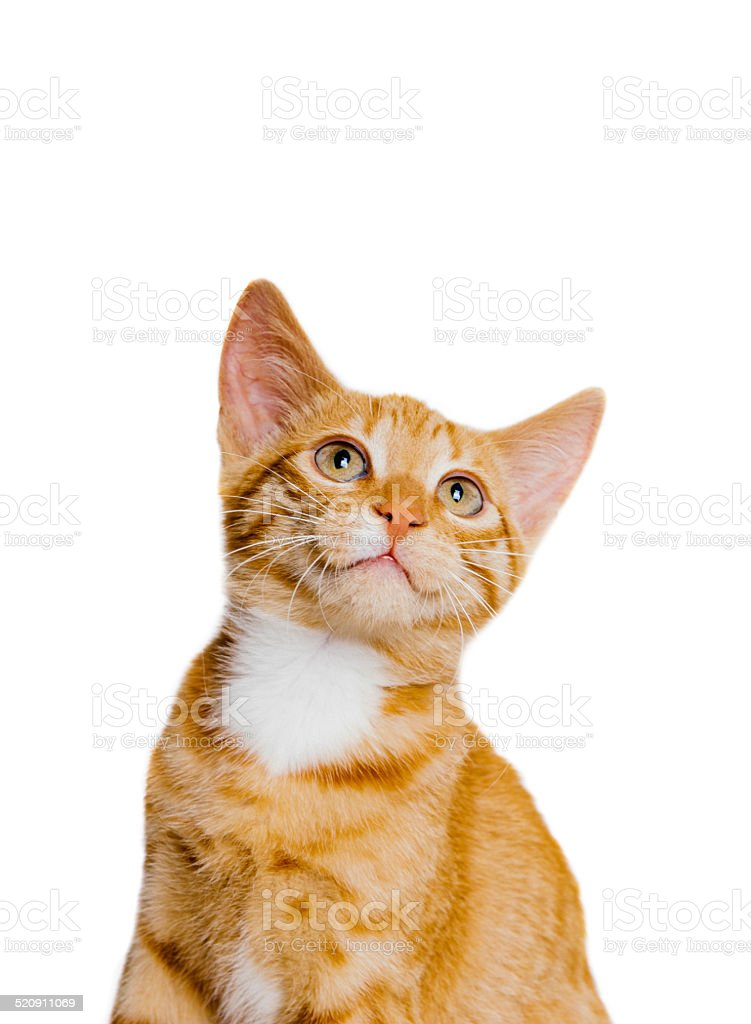 Ginger young domestic cat looking up on isolated white background stock photo