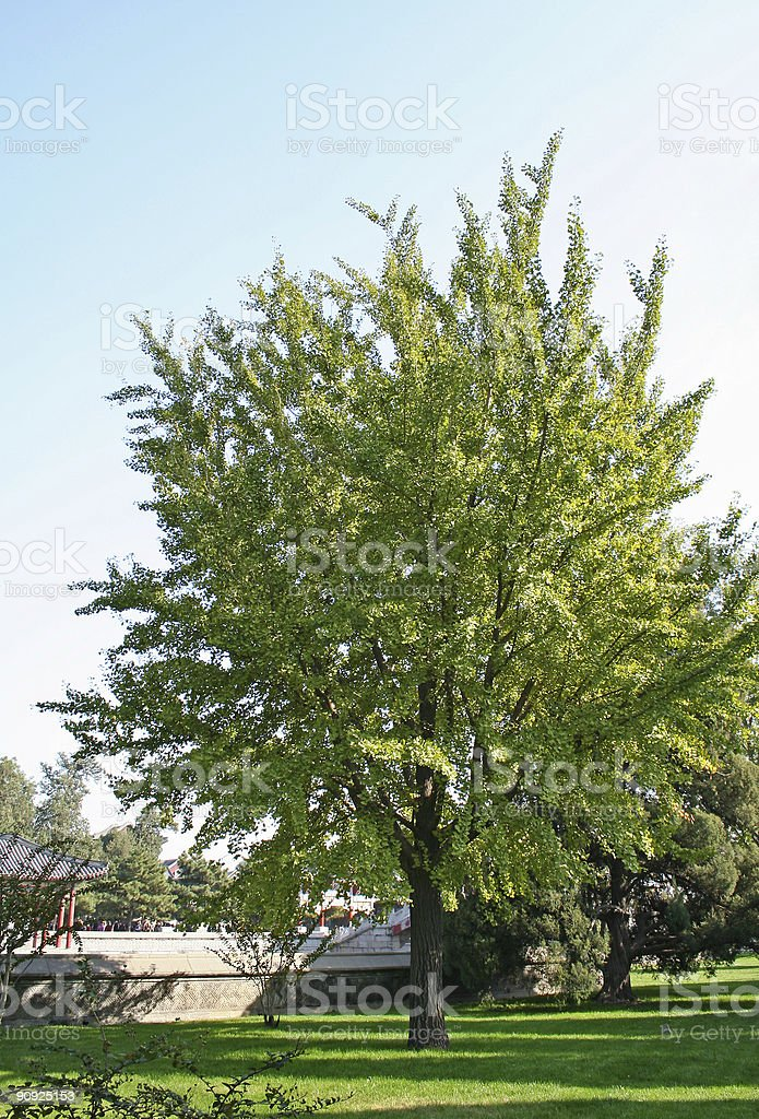 Gingkgo tree stock photo