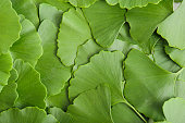 Gingko Background