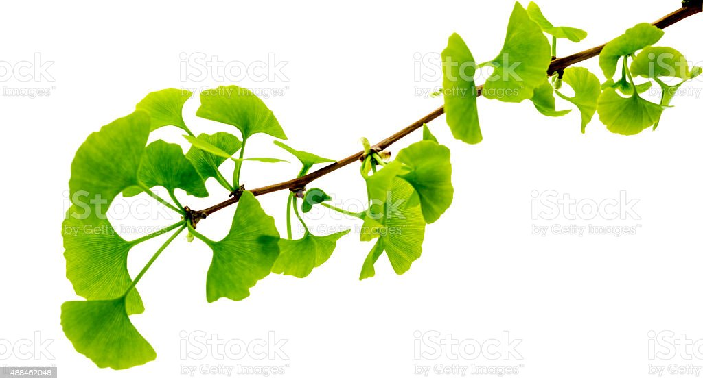 Gingko biloba leaves and seeds stock photo