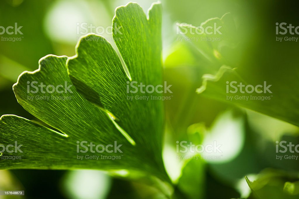 Gingko Biloba stock photo