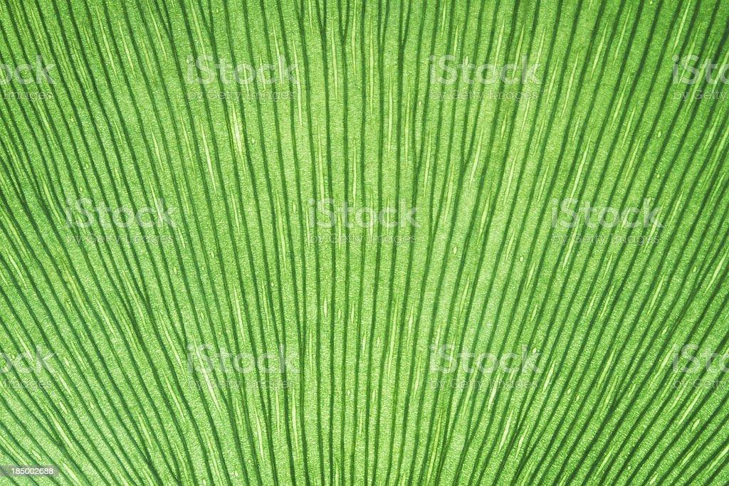 Gingko Leaf Background royalty-free stock photo