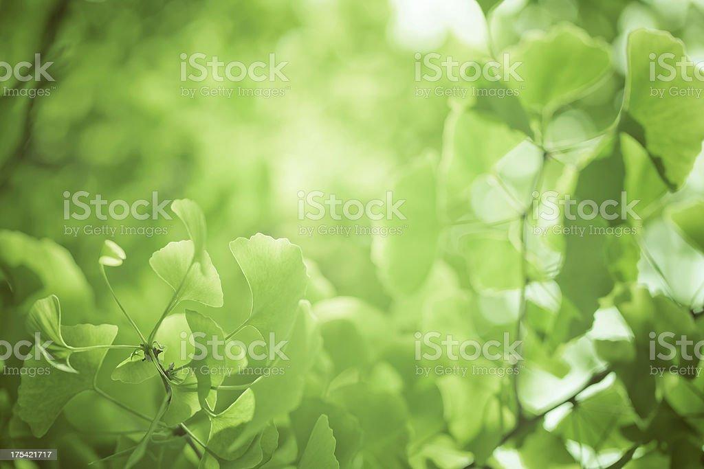 gingko leaf stock photo