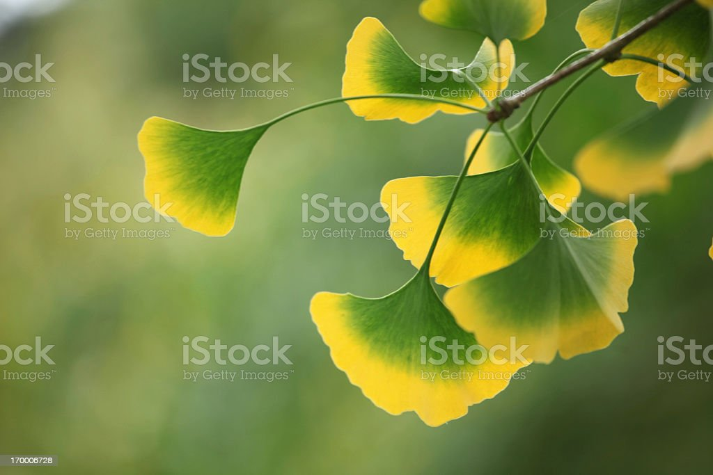 Gingko leaves at the tree stock photo