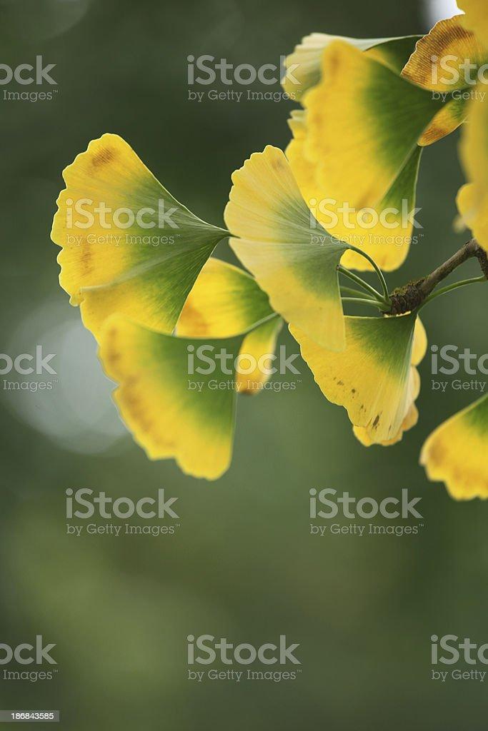 Gingko leaves at the tree royalty-free stock photo