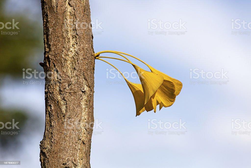 Gingko leaves royalty-free stock photo