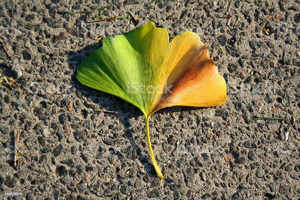 Gingko tree leaf royalty-free stock photo