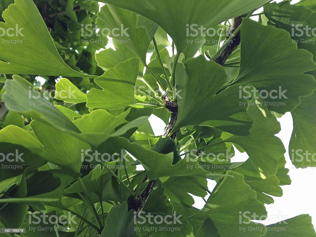 Ginkgo bilboa leaves royalty-free stock photo