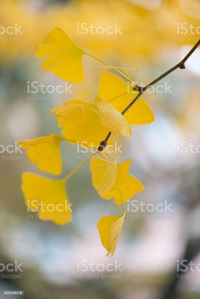 Ginkgo biloba details stock photo