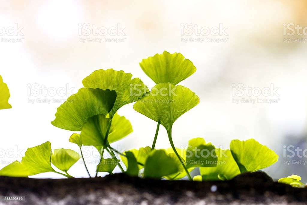 Ginkgo biloba leaf outside stock photo