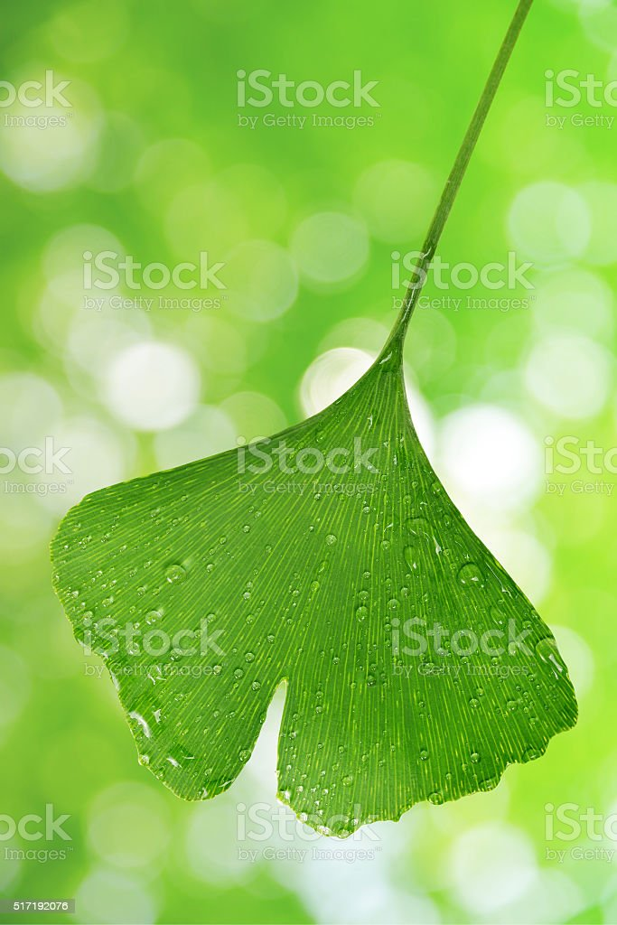 ginkgo biloba leaf stock photo