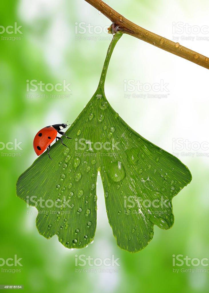ginkgo biloba leaf with dew drops stock photo