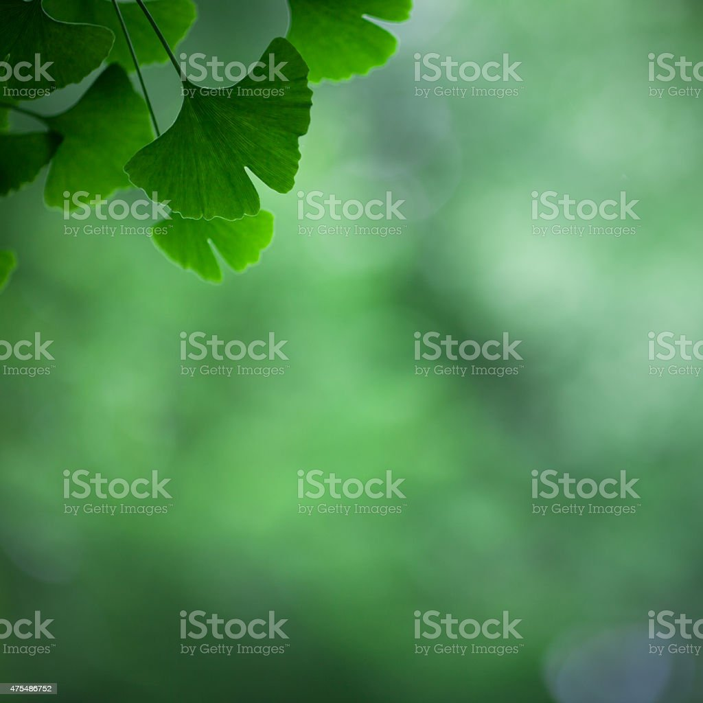 Ginkgo biloba leafs stock photo