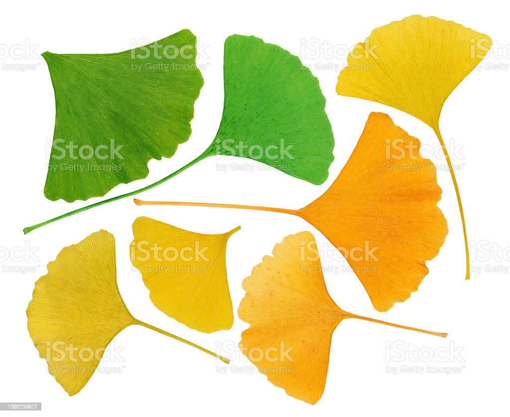 Ginkgo Biloba leaves herbarium isolated on white, macro stock photo