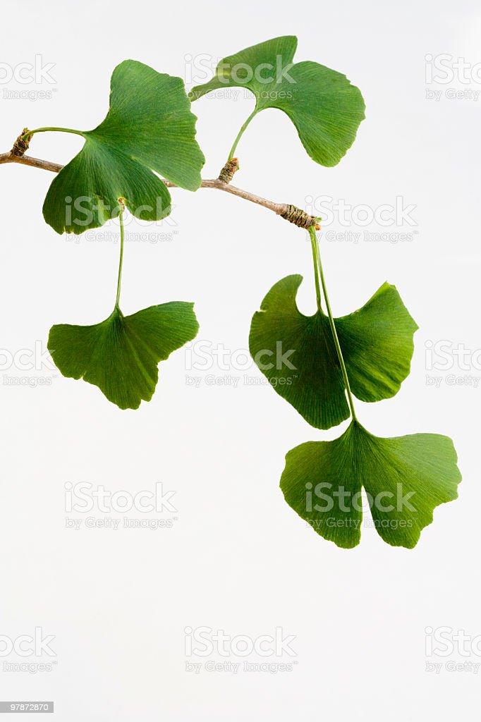 Ginkgo biloba leaves isolated on white background (XXL) royalty-free stock photo