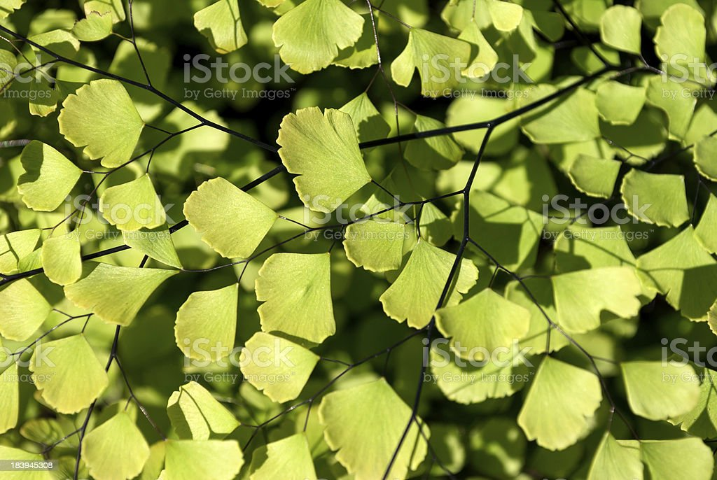 Ginkgo Biloba Leaves royalty-free stock photo