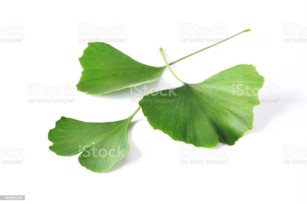 Ginkgo Biloba leaves stock photo