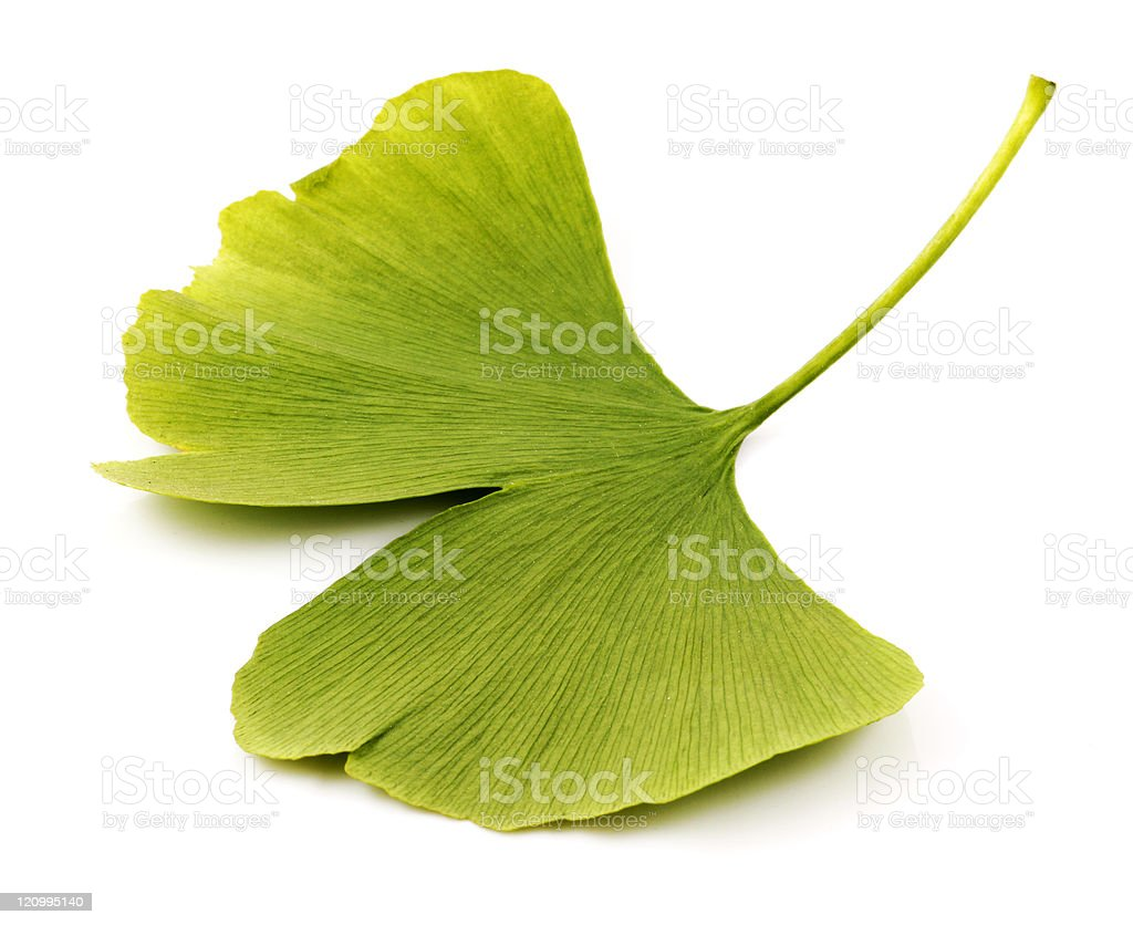 Ginkgo biloba royalty-free stock photo
