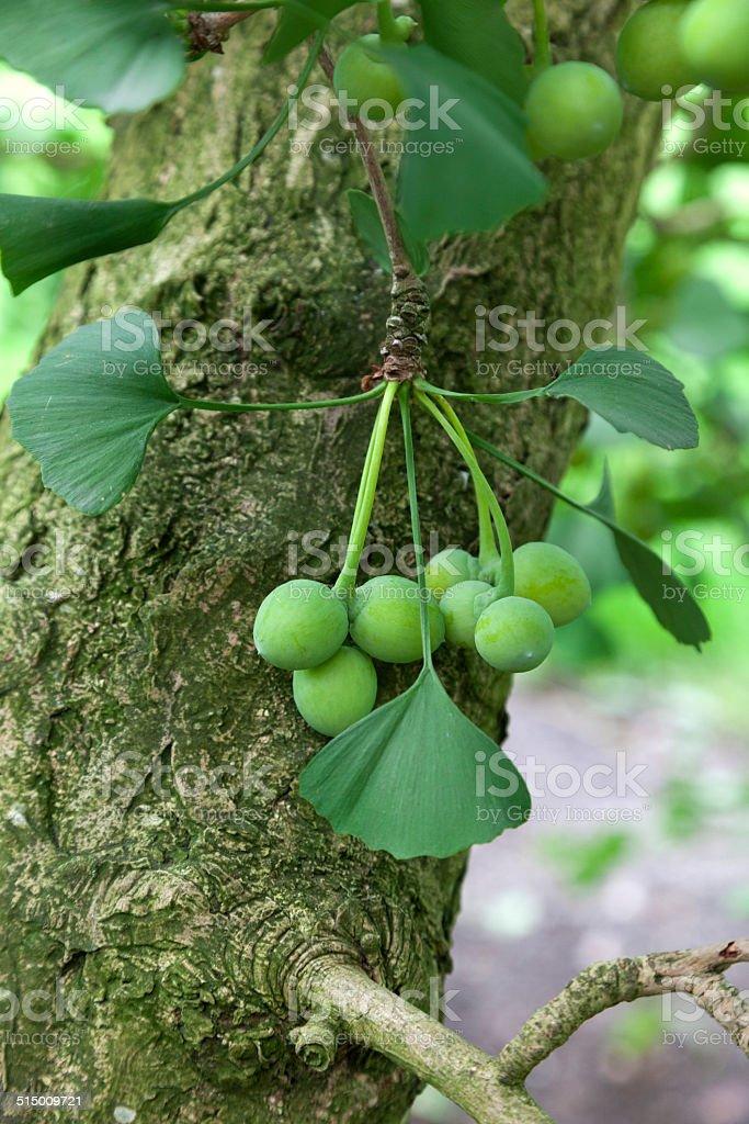 Ginkgo biloba seeds stock photo