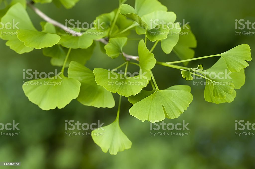 Ginkgo Biloba tree stock photo