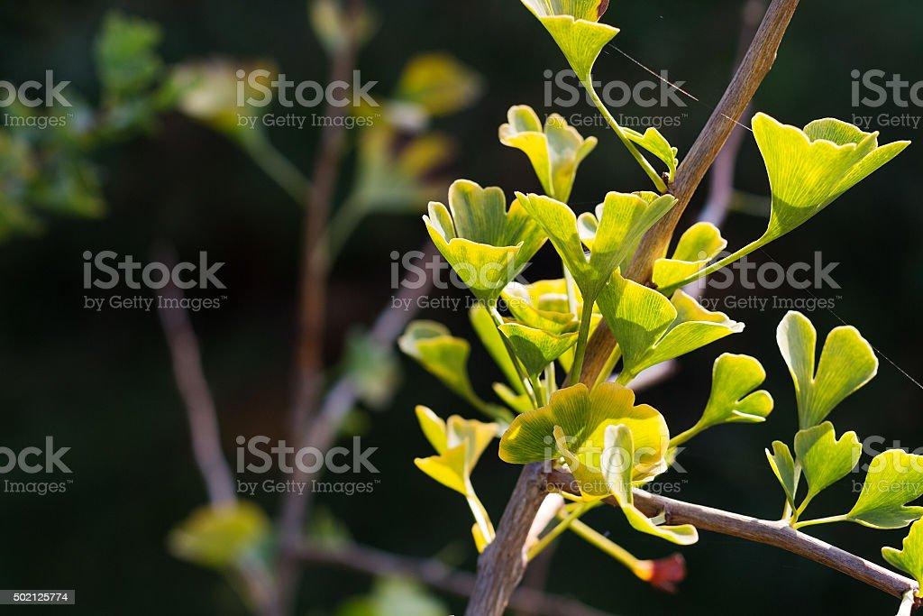 Ginkgo biloba tree stock photo