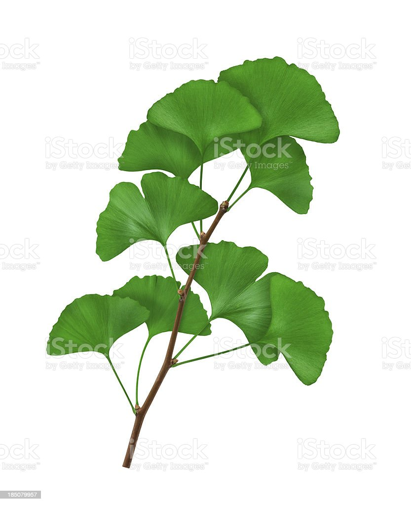 Ginkgo Branch royalty-free stock photo