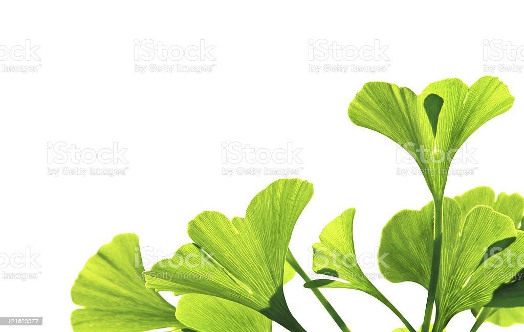Ginkgo isolated royalty-free stock photo
