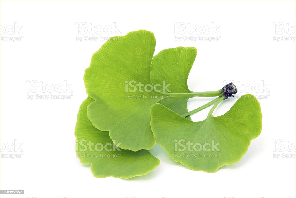 ginkgo leaf isolated stock photo