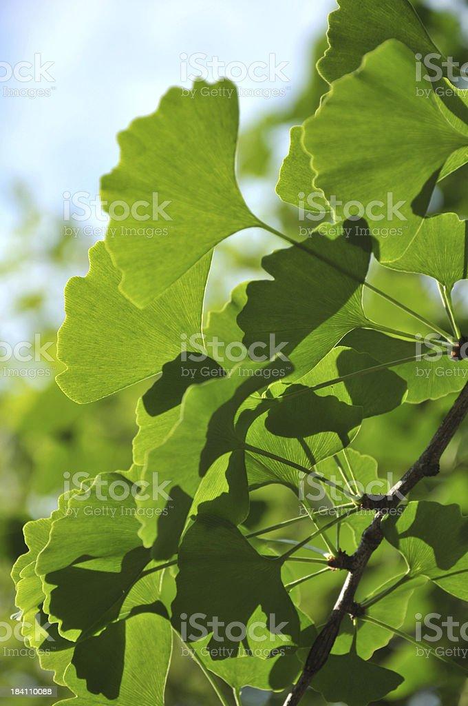 Ginkgo leaf royalty-free stock photo