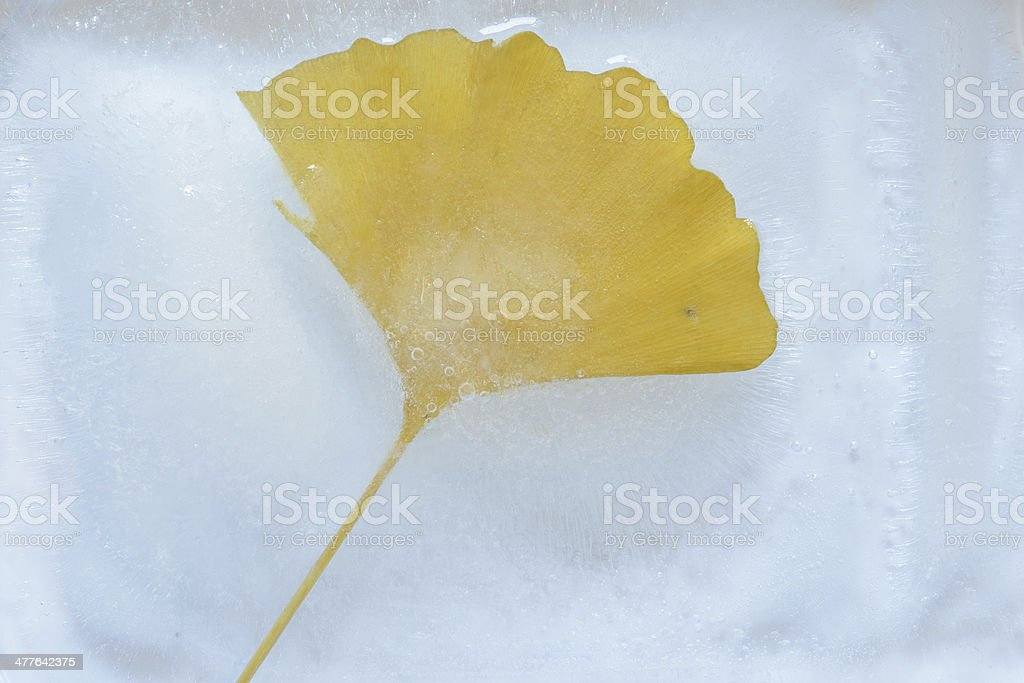 Ginkgo leave royalty-free stock photo