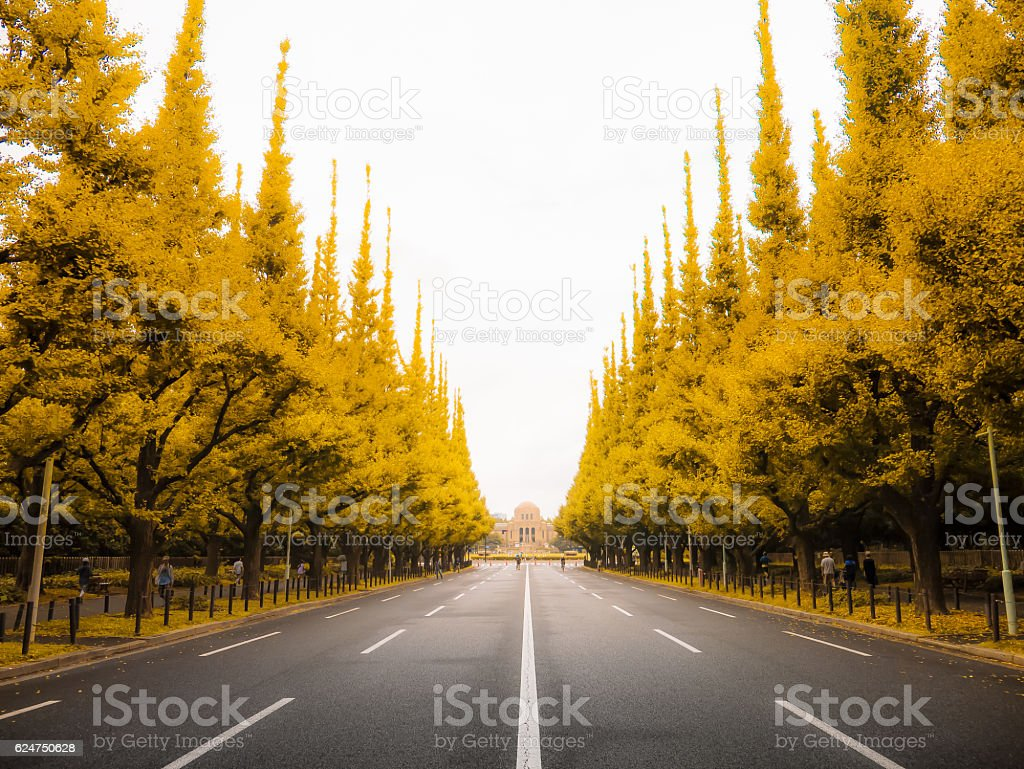 Ginkgo leaves are beautiful road in Aoyama Tokyo stock photo