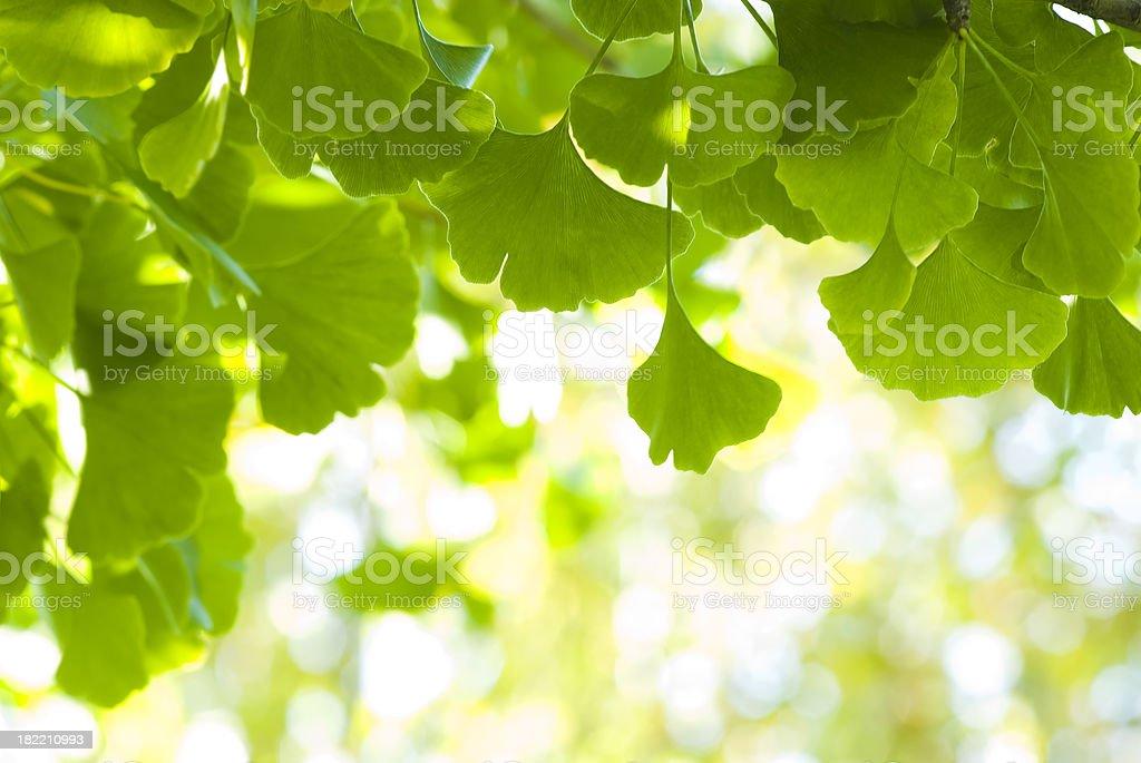 Ginkgo (Ginkgo biloba) leaves - III royalty-free stock photo