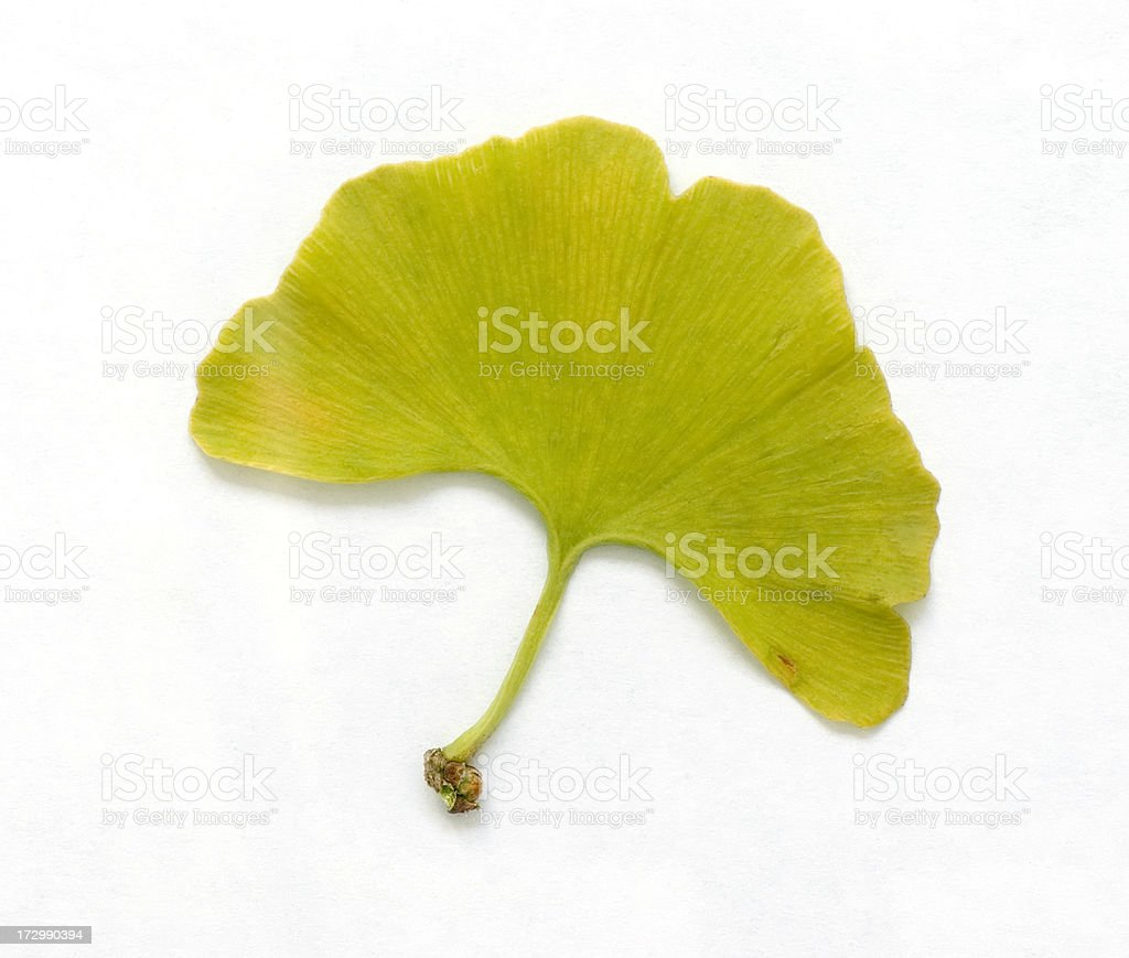 Ginkgo Leaves isolated on White royalty-free stock photo